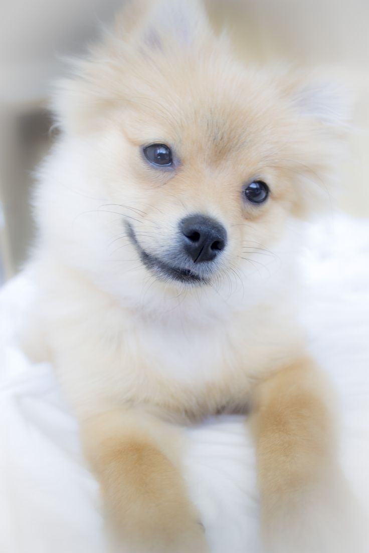 "Click visit site and Check out Best ""German Spitz"" T-shirts. This website is top-notch. Tip: You can search ""your name"" or ""your favorite shirts"" at search bar on the top."