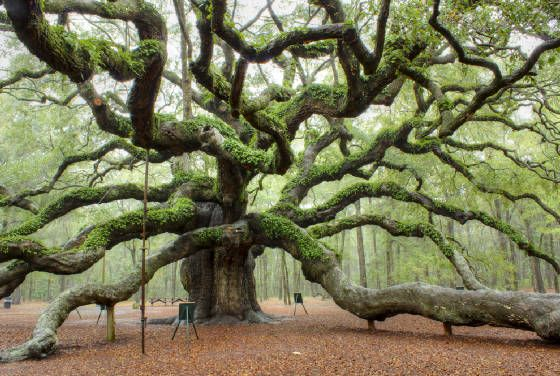 Angel Oak on John's Island SC...  just amazing #treehugger  #savetheplanet #ecofriendly #ecoliving