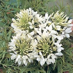 Sun Annual - Cleome spinosa 'Helen Campbell'