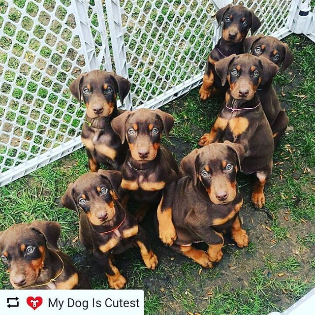 Doberman Puppies Oh My Goodness Their Eyesss Doberman