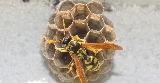 Come rimuovere un nido di vespe. Come rimuovere un nido di vespe senza ricorrere ad un insetticida? Le azioni da compiere possono dipendere dalla posizione del nido di vespe e dalle sue dimensioni. Si consiglia solitamente di agire per rimuovere il nido durante la notte e di tenere sempre sotto osservazione i punti della casa o del giardino in cui le vespe potrebbero iniziarne la costruzione, in modo tale da poterlo rimuovere fin da subito.