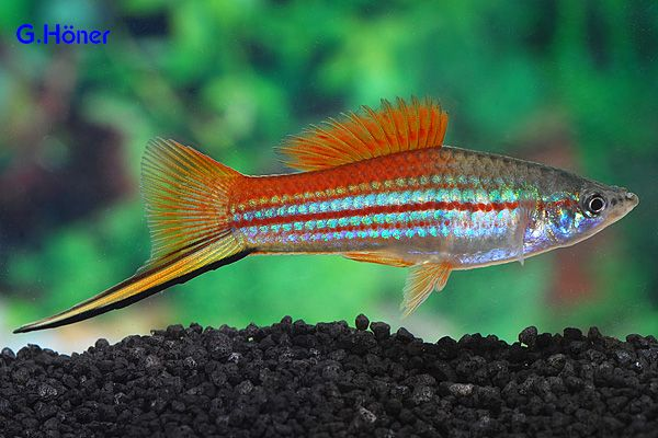Neon swordtail about the only kind they ever have at for Neon freshwater fish