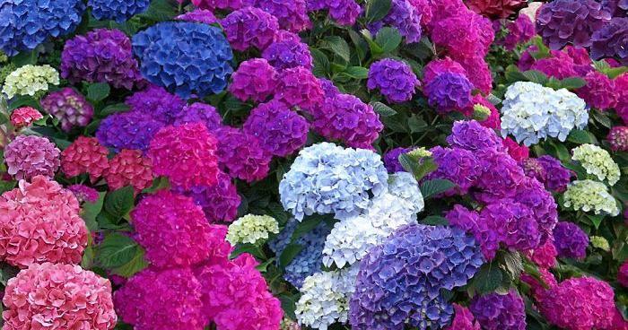 Apunta los consejos de MegaNicho para el perfecto mantenimiento de las flores más maravillosas del jardín, las hortensias.