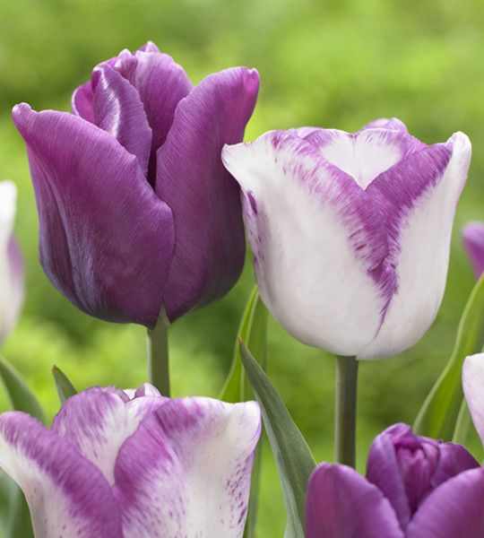 how to make hybrid tulips