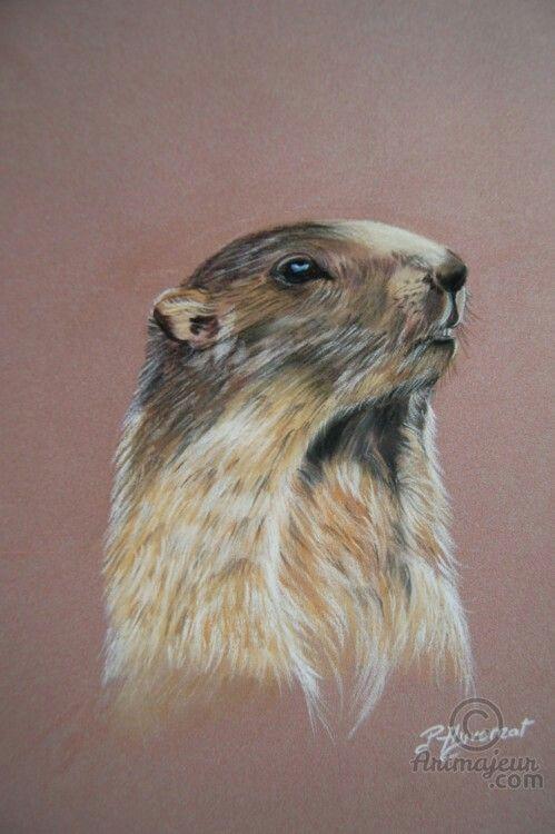 Marmotte   Marmotte dessin, Peintre animalier, Portrait ...