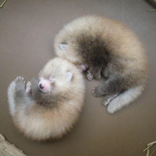newborn red pandas!