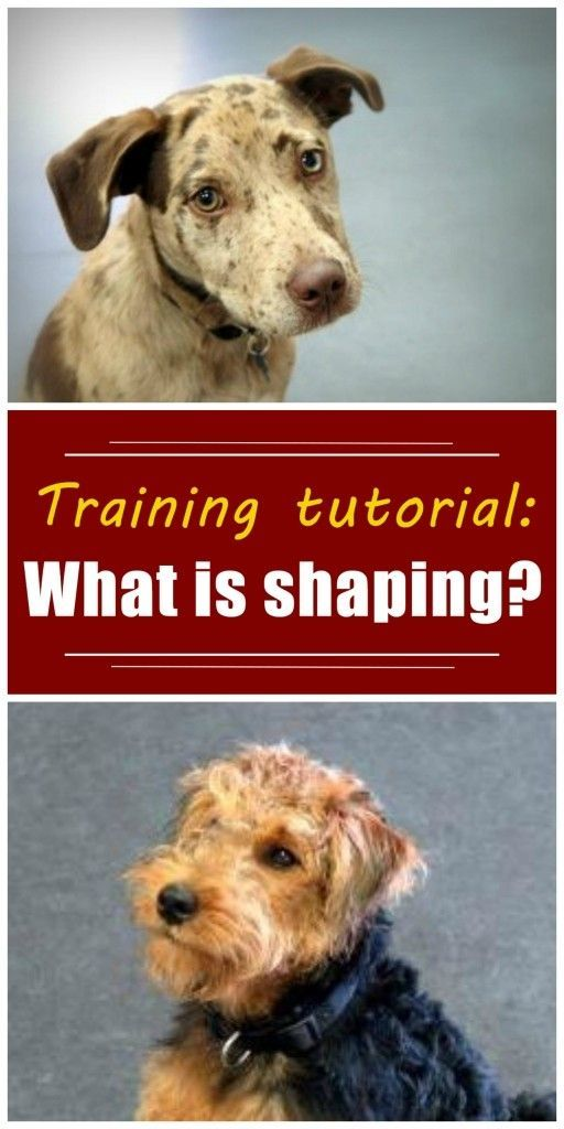 What is shaping? Great dog trainers understand and use the concept of shaping. In this article, I explain the definition of shaping, with many shaping examples and tips. Read this article to learn more about shaping, clicker training, and positive reinforcement training