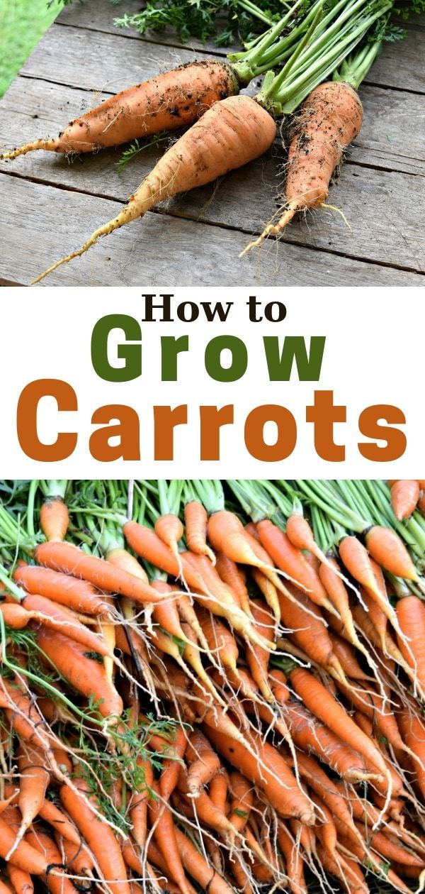 How To Grow Carrots Home Vegetable Garden Vegetable 400 x 300