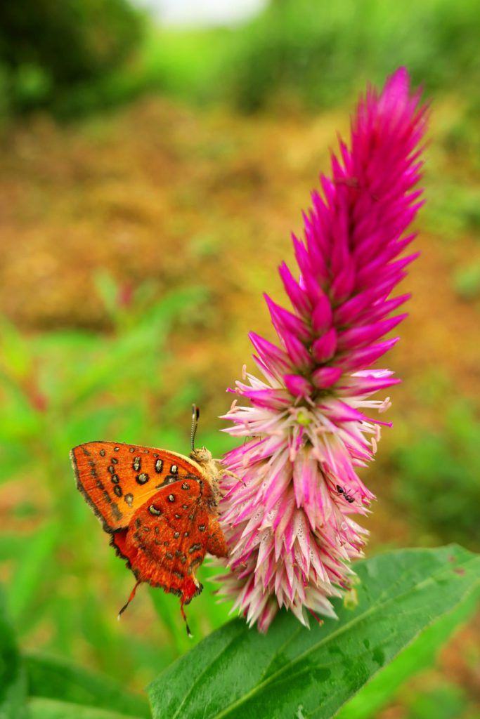 Schmetterling, Axiocerses harpax - Elfenbeinküste