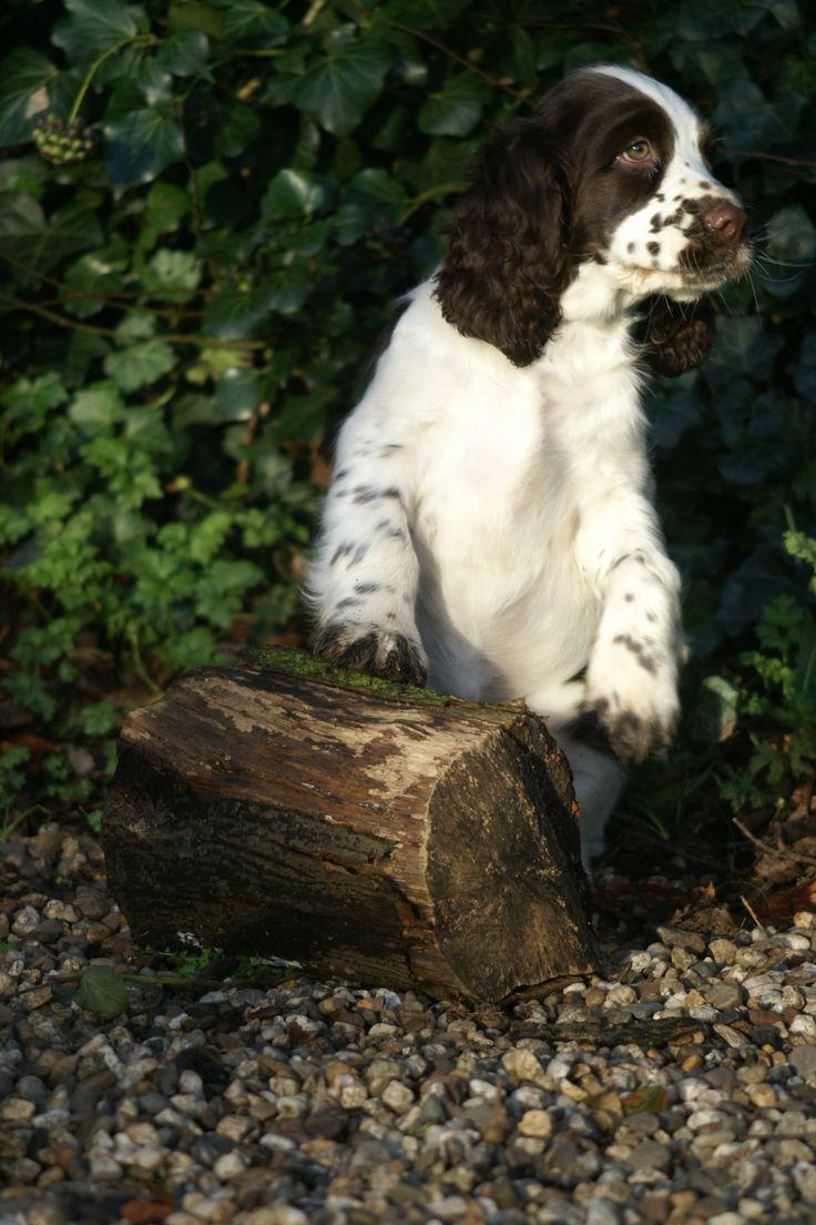 721 best chien springer anglais images on Pinterest