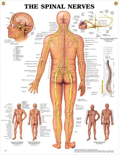 Spinal Nerves anatomy poster shows spinal cord segments, cutaneous distribution of spinal nerves and dermal segmentation.