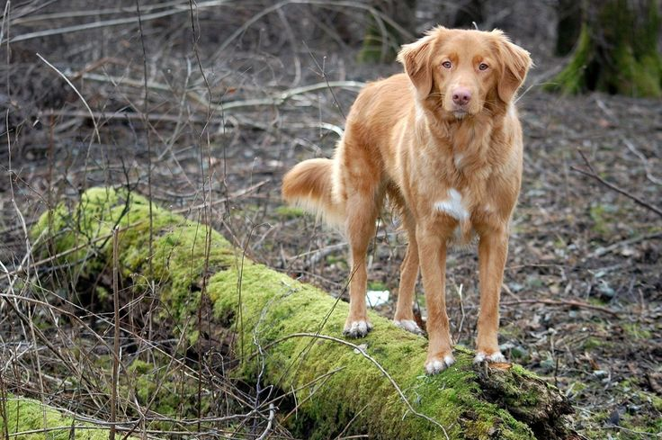 1000  images about nova scotia duck trolling retriever on