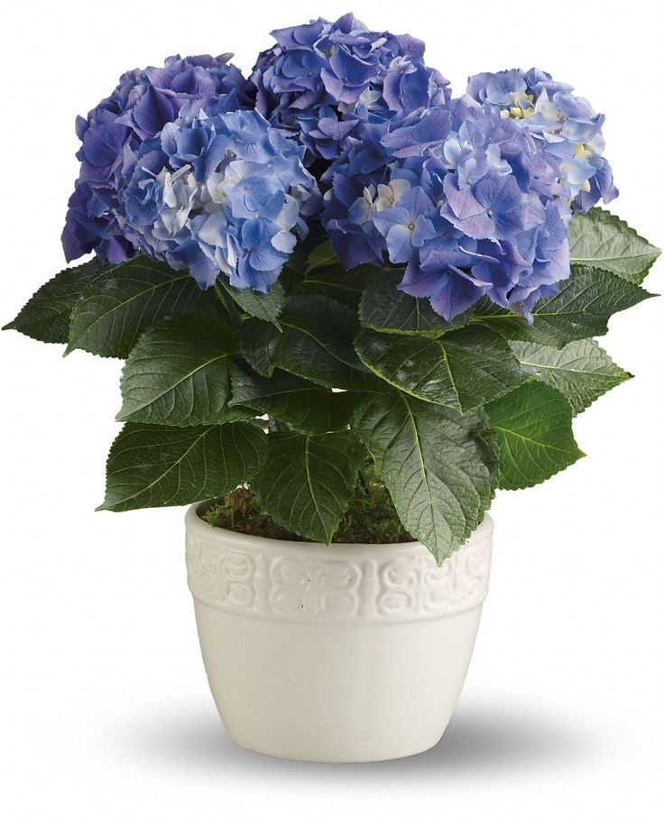 Hydrangea Care - Guide for Growing Hydrangeas Indoors