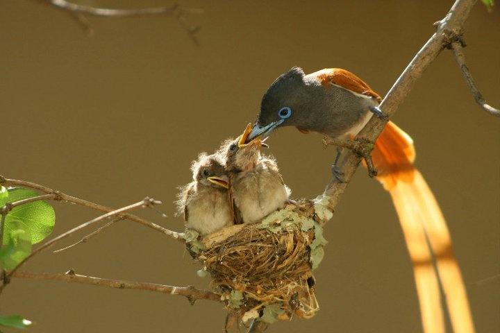 Paradise Flycatcher with chicks.