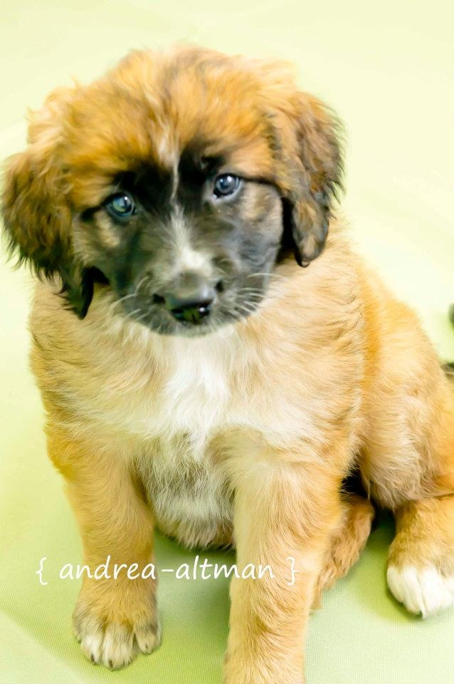15 best St. Bernard - Love this breed! images on Pinterest | Pup ...