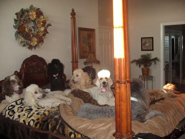 Standard Poodles For Sale | Parti Poodles - Standard Poodles For Sale Gorgeous Show Poodles