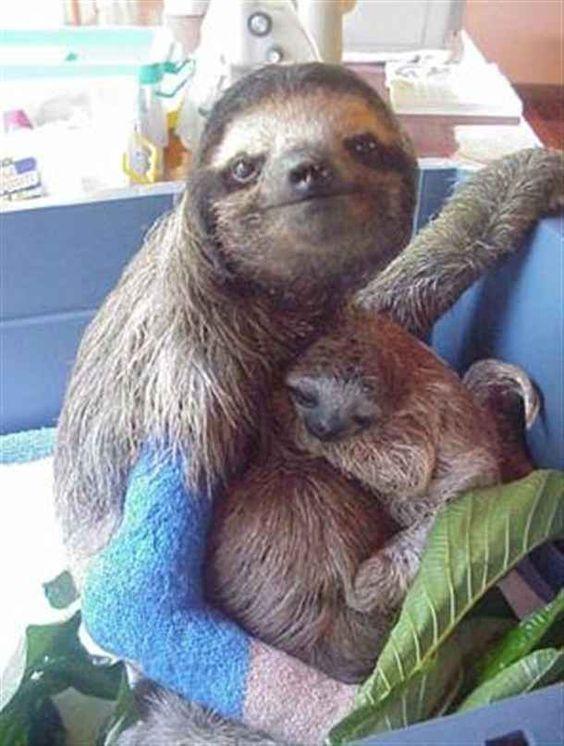 Anne ile yavru Tembel hayvan (Sloth)
