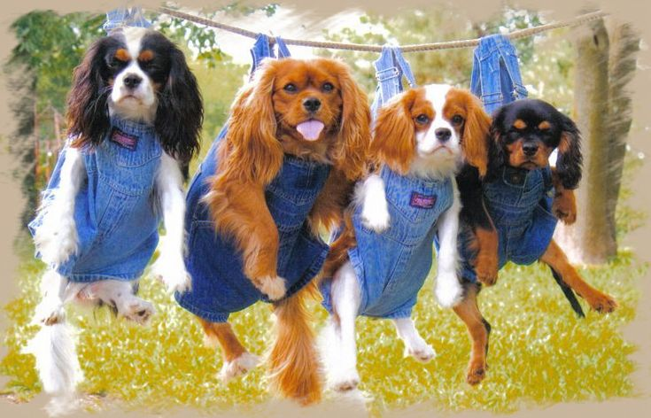 Cavalier King Charles Spaniels--OMG i am so jealous this person has all four colors of these precious dogs.