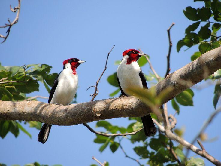 """Aves de Venezuela: Cardenal Bandera Alemana (Paroaria gularis)Anteriormente su nombre común era """"mantequero"""" porque le gustan las frutillas del árbol llamado Manteco."""