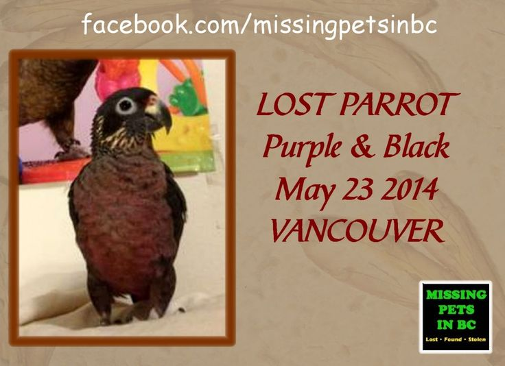 LOST PURPLE & BLACK PARROT in VANCOUVER (Cornwall & Arbutus) MAY 23 2014