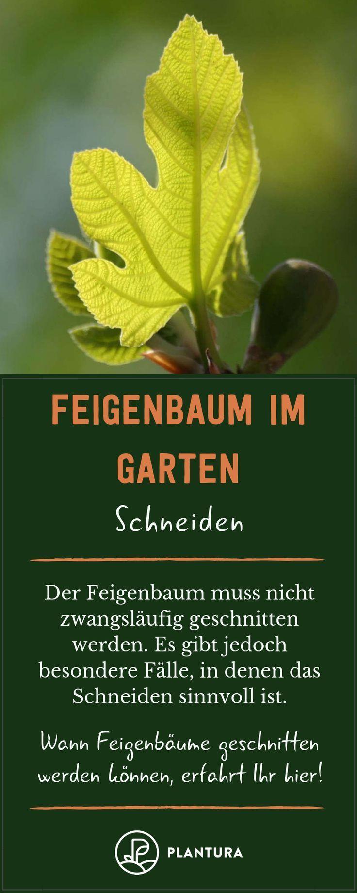 Feigenbaum Alles Was Man Zur Feige Im Garten Wissen Muss Feigenbaum Feigenbaum Pflanzen Feigen