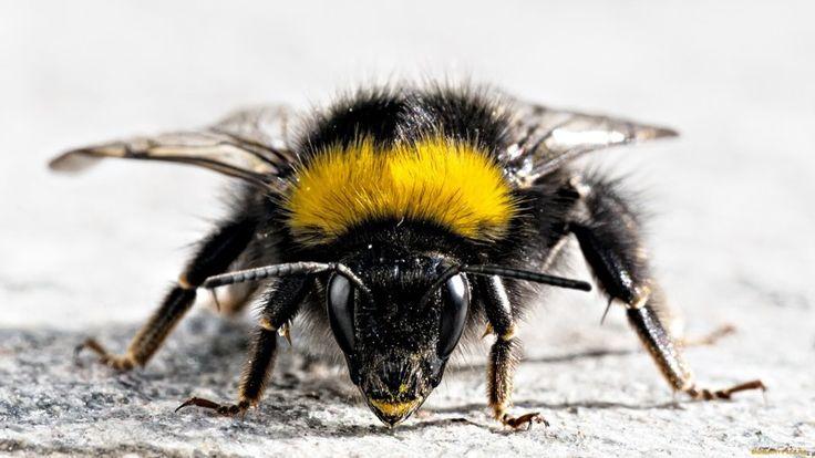 Шмели. Интересные факты http://kleinburd.ru/news/shmeli-interesnye-fakty/  Сегодня поговорим о шмелях. Шмель — летающее насекомое, очень близкий родственник обычной медоносной пчелы. Внешне шмель очень похож на обыкновенную пчелу, только он крупнее, в длину до 2,5 см и больше, его толстенькое тельце густо покрыто волосками. Спинка тёмная, чаще всего с жёлтыми полосками, но иногда полоски бывают оранжевого или красного цвета, редко встречаются чисто […]