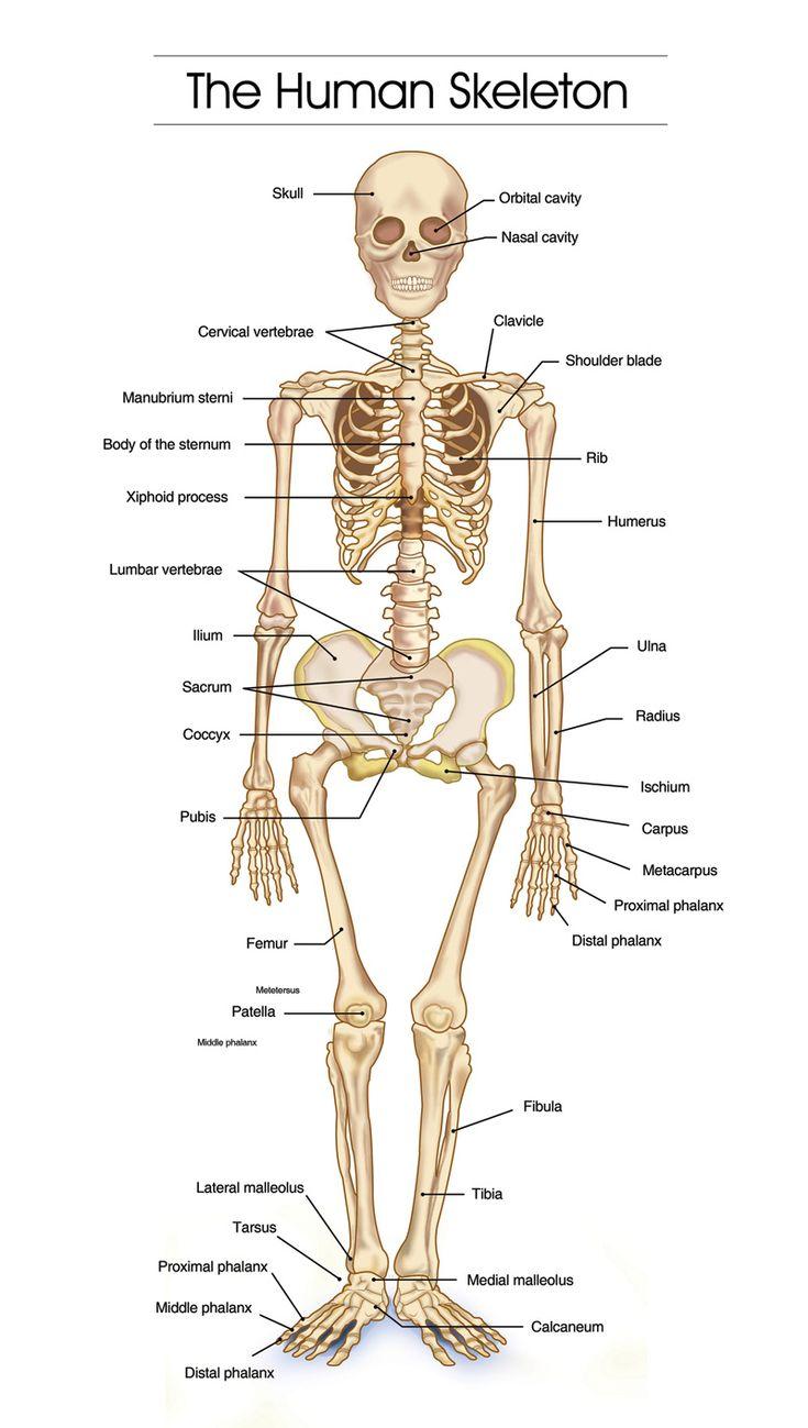 Best 25 Human skeleton bones ideas on Pinterest | Systems
