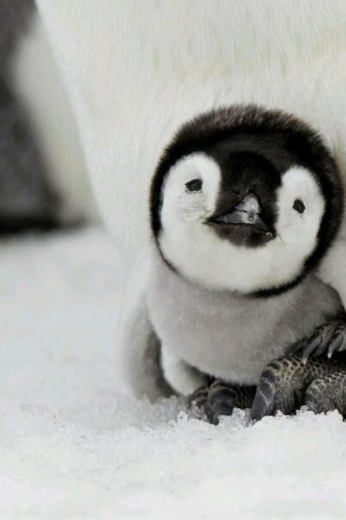 Baby Penguin. @MaryRose Hanson, I'm looking at you.