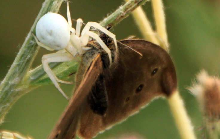 White Crab Spider catching a Butterfly - Public Domain Photos, Free Images for Commercial Use