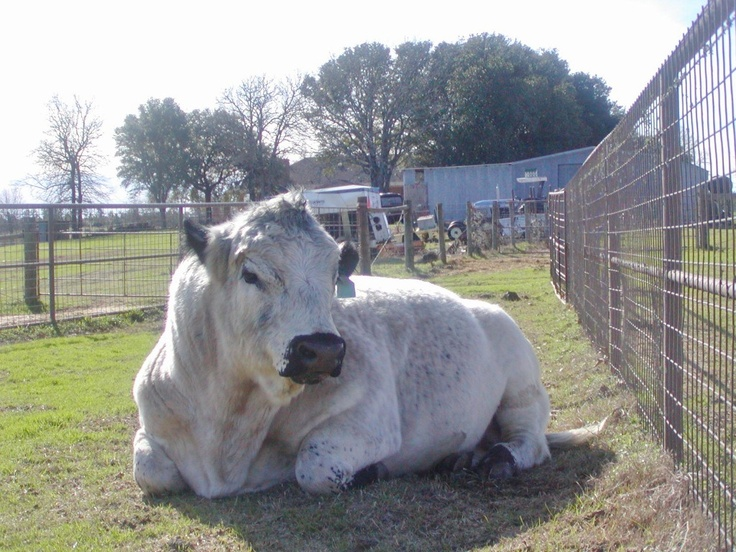 British White Cattle in Southeast Texas Pastures - Winter of 2012