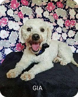 Denver, CO - Poodle (Miniature) Mix. Meet Gia, a dog for adoption. http://www.adoptapet.com/pet/17117306-denver-colorado-poodle-miniature-mix