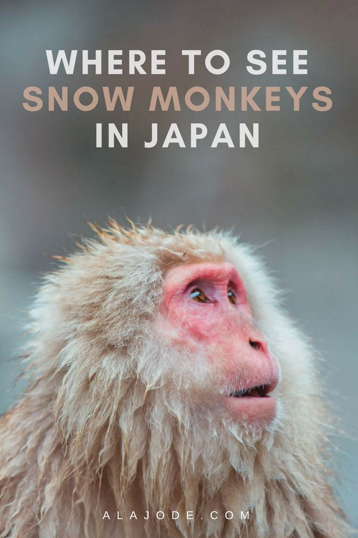 Where to see the snow monkeys in Japan. Take a day trip to Jigokudanai Moneky Monkey to see the adorable Japanese Macaque monkeys bathing in hot springs (onsen). Visiting the monkey hot springs is one of the best things to do in Japan!