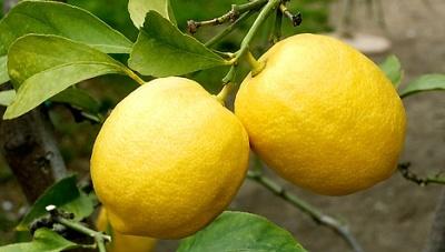 Citrom jótékony hatásai Története: A citromot Indiában fedezték fel, ma Európa déli részein, illetve az Amerikai Egyesült Államokban több helyen, Kaliforniában és Floridában termesztik. A 3-5 méterre is megnövő citromfa egész évben hozza a termését. http://www.anyugdijas.hu/index.php/feliratkozo-cimlap/item/47-citrom-j%C3%B3t%C3%A9kony-hat%C3%A1sai.html