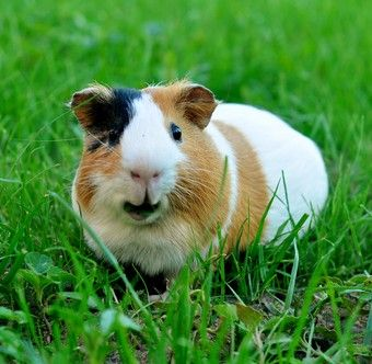 Understanding guinea pig sounds (ours goes nuts when you play the purring or chirping videos)