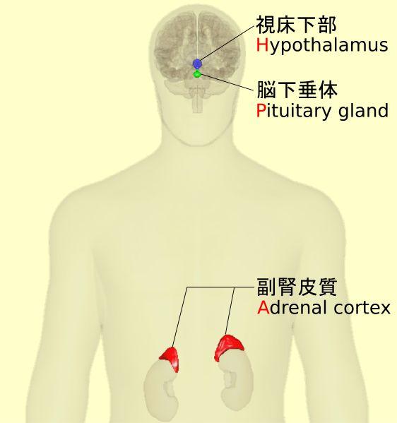 """""""""""ストレス応答や免疫/エネルギー代謝などを含む多くの体内活動に/視床下部、下垂体、副腎の間でフィードバックのある相互作用を行い制御している神経内分泌系。<HPA軸>/ともいう。"""" 視床下部-下垂体-副腎系 - Wikipedia https://t.co/s7UQzEmRfW"""""""