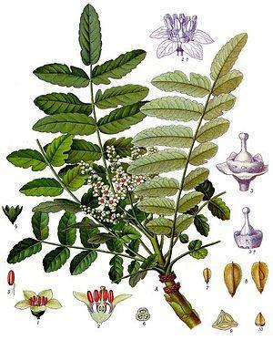 """#Somalischer_Weihrauch (Boswellia sacra), Illustration  """"Boswellia sacra (Syn.: Boswellia carterii Birdw.) ist eine Pflanzenart, die zur Familie der Balsambaumgewächse (Burseraceae) gehört. Deutsche Namen sind """"Somalischer Weihrauch"""" oder """"Arabischer Weihrauch""""."""""""