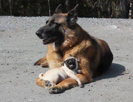 pug amp german shepherd german shepherds pinterest the