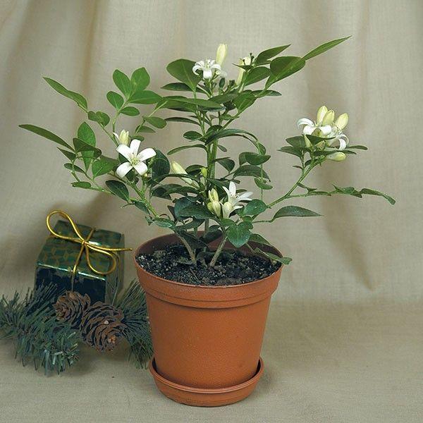 94 best logee 39 s fragrant plants images on pinterest. Black Bedroom Furniture Sets. Home Design Ideas