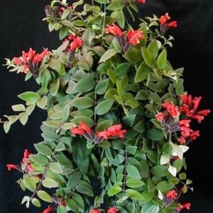 Lippenstiftplant, Aeschynanthus