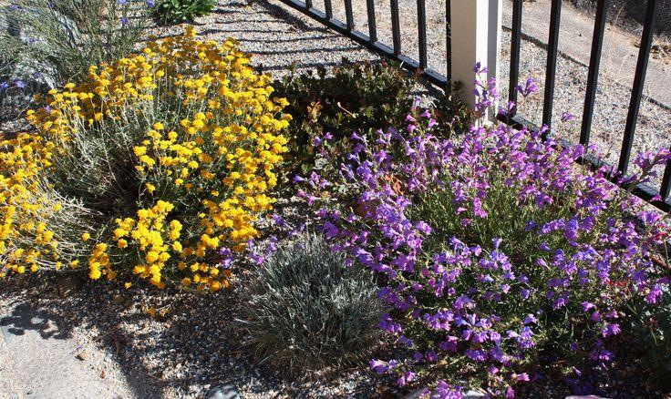 https://flic.kr/p/bUAj4v | docent f Eriophyllum confertiflorum - Golden Yarrow and Penstemon heterophylla - Foothill Penstemon | California Native Landscape by East Bay Wilds 510-409-5858