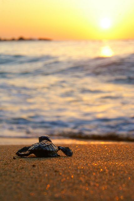 Still obsessed with baby turtles!  #60days #tobago