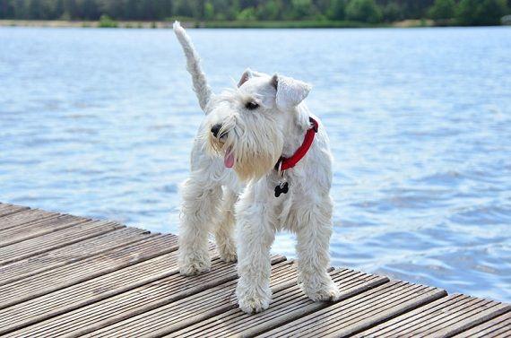 Sznaucer na plaży. ;) #schanuzer #schnauzers #dog #dogs