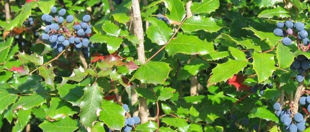 Oregon Grape – Health Benefits and Side Effects