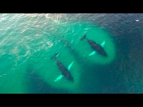 You Won't Believe This Amazing Drone Footage of Humpback Whales (VIDEO) | One Green Planet