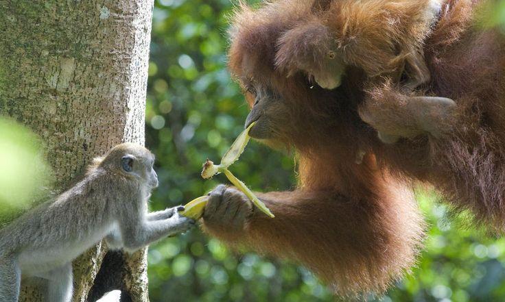 Sumatran Orangutan | Long tailed macaque and Sumatran orangutan | Photos | WWF