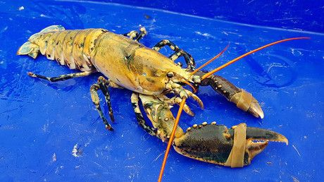 """Shell-dorado: Extremely rare gold-colored lobster pulled from sea off Northern France https://tmbw.news/shell-dorado-extremely-rare-gold-colored-lobster-pulled-from-sea-off-northern-france  A fisherman in Northern France has landed himself the catch of a lifetime – an extremely rare yellow lobster.Yann Duchesne plucked the gold-colored crustacean from one of his pots near Île Saint-Rion in Paimpol Bay on the Côtes-d'Armor last week and quickly ruled out making a meal of his discovery.""""It's…"""