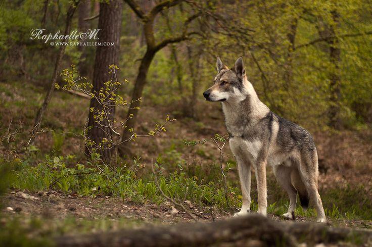 King wolf by Raphaelle Monvoisin on 500px