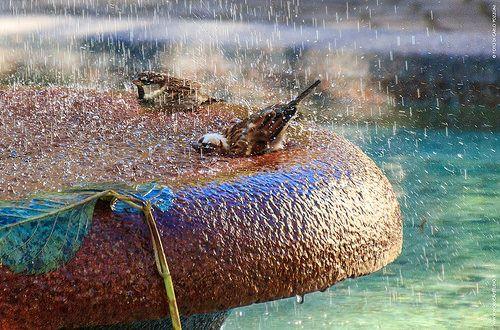 Passerotti fanno il bagno nella fontana in piazza a Borgosesia (VC), Valsesia