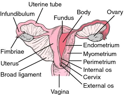 513 best anatomy and physiology images on pinterest the human body layers of uterus google search ccuart Choice Image