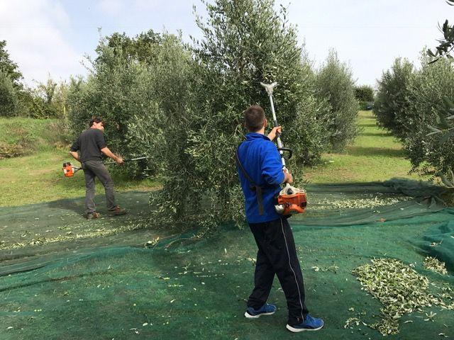Olive harwest.